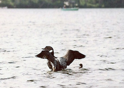 Mama loon stretching her wings