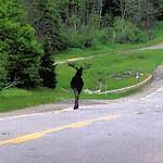 Moose Alley moose