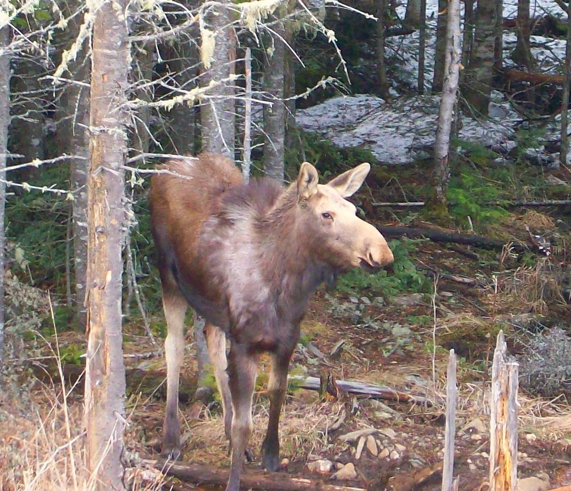 Spring 2010 roadside moose