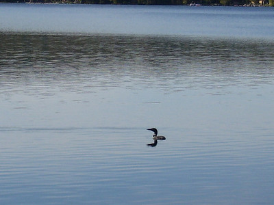 Lone loon on Back Lake