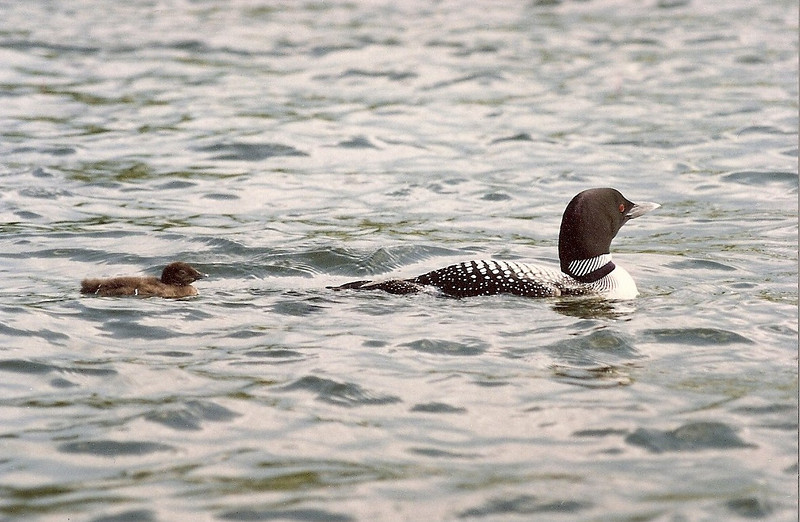 Mama loon & chick on Back Lake
