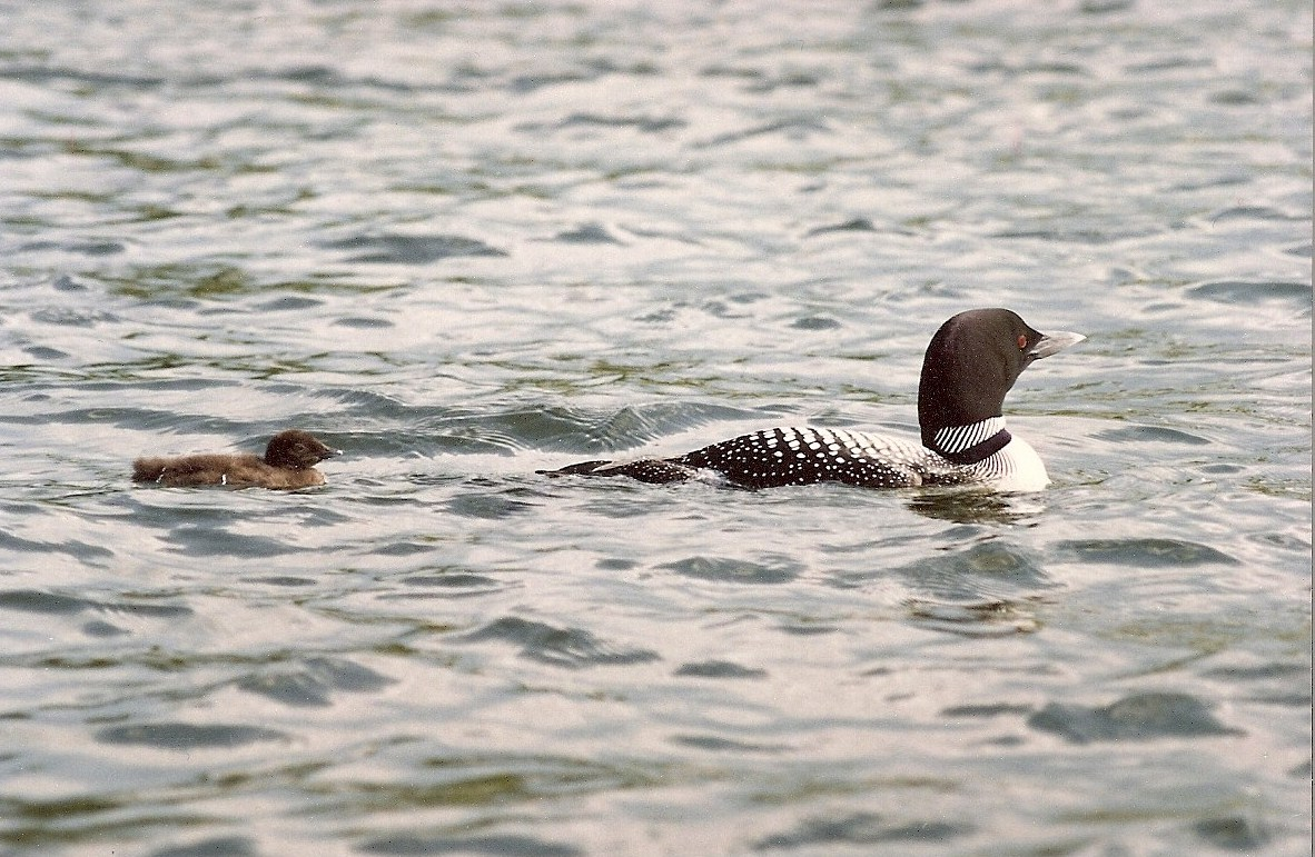 Mama loon & chick on Back Lake