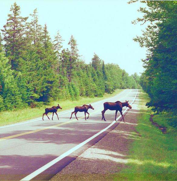 """Mama moose & twins crossing """"Moose Alley""""."""