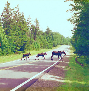"Mama moose & twins crossing ""Moose Alley""."