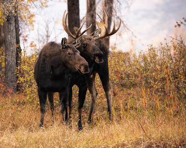 Taking a Break-Moose Rut