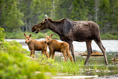 Female Moose (Alces alces) and calves,  Baxter state park, Maine, USA