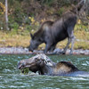 Mama Moose Feeds With Yearling On Shore
