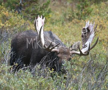 Moose 33
