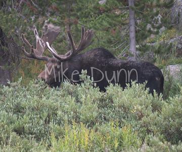Moose-49