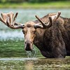 Bull Moose and Water Droplets