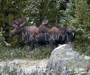 Moose-13