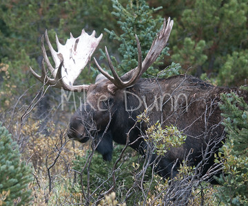 Moose-26