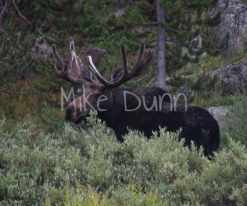 Moose-48