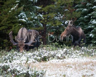 Moose-12