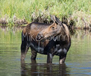 moose-38