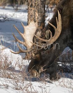 Moose-20