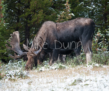 Moose-10