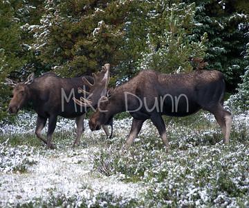 Moose-14
