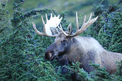 Mature bull moose in the jumipers