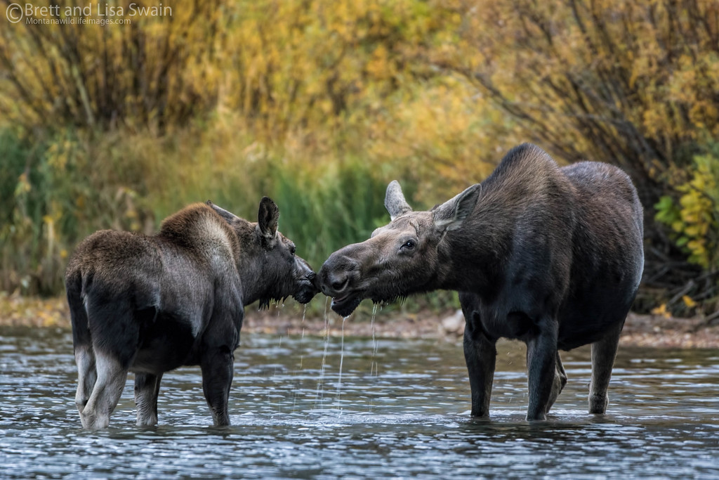 Mama Moose With Yearling Calf