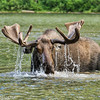 Bull  Moose Water Fountain