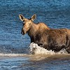 Cow Moose Makes Waves