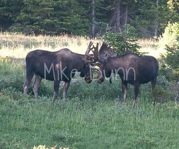 Moose-21