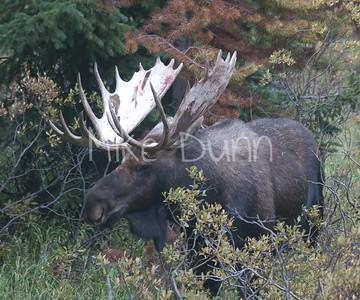 Moose-29
