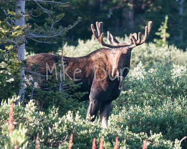 Moose-23
