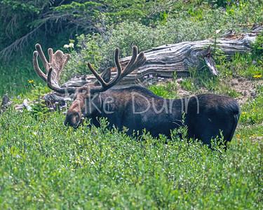 Moose-50