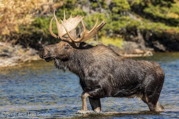 Mid-steppin' Bull Moose
