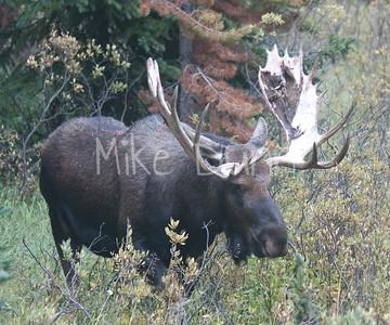 Moose 31