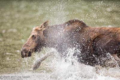 Cranky Moose