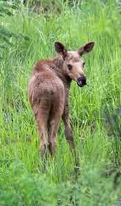 New Moose