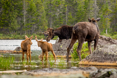 Male moose, Female Moose (Alces alces) and calves,  Baxter state park, Maine, USA