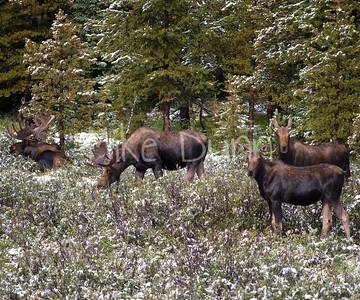 Moose-15