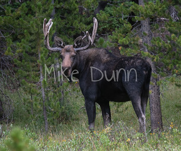 Moose-47