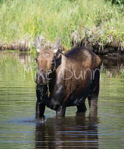 moose-37
