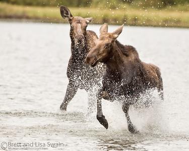 Moose Dispute