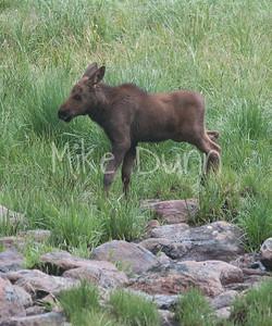 Moose-43