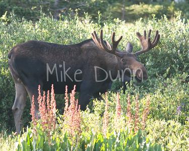 Moose-25