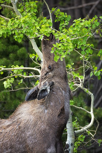 Cow Moose Feeds on Aspen Leaves-Vertical