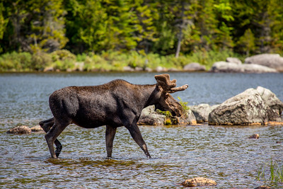 Male Moose (Alces alces),  Baxter state park, Maine, USA
