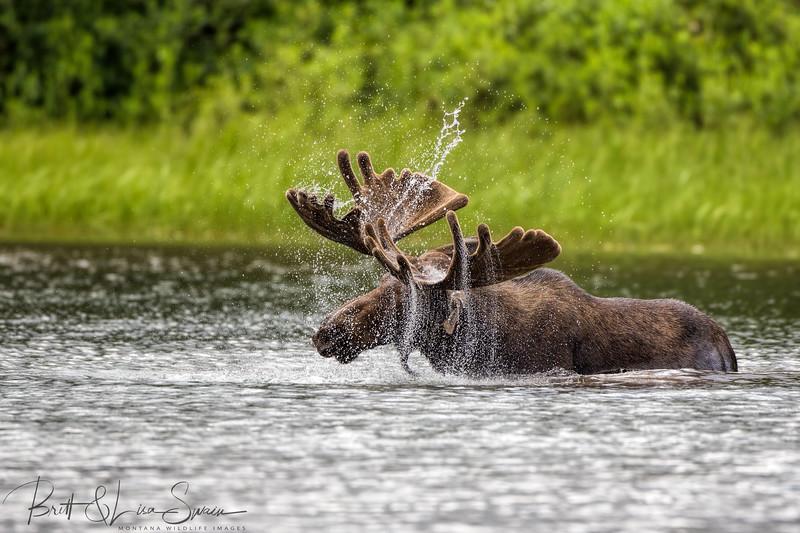 Moose Spray