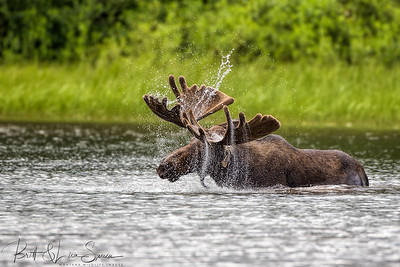 Moose Spray