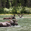 Bull Moose Day