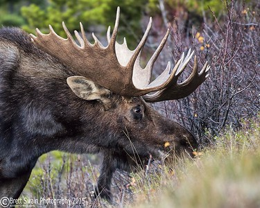 Bull Moose Side Portrait