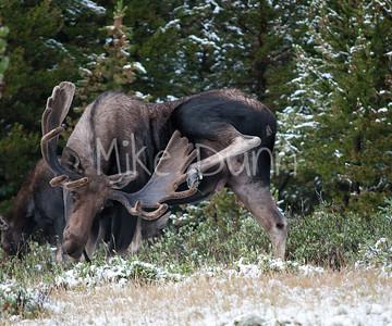 Moose-11