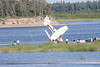 Cessna U206G C-GRVX flipped on sandbar in the Moose River across from Moosonee, Ontario 2009 August 11th. Aircraft flipped back to upright.