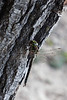 Dragon fly eating horse fly on a tree